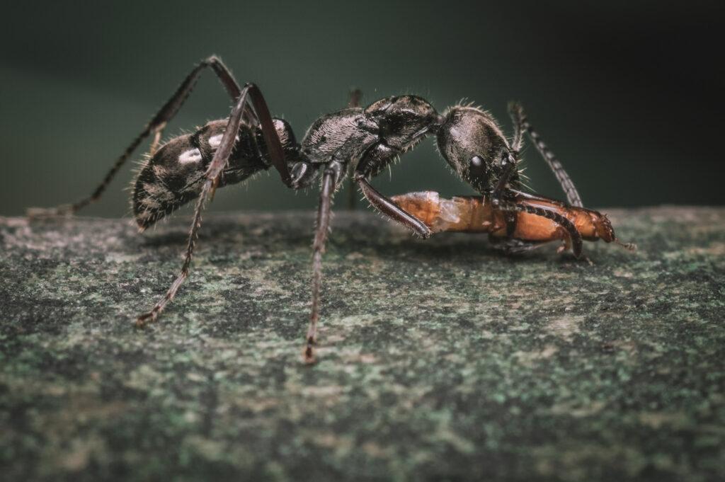 Hormiga con una presa