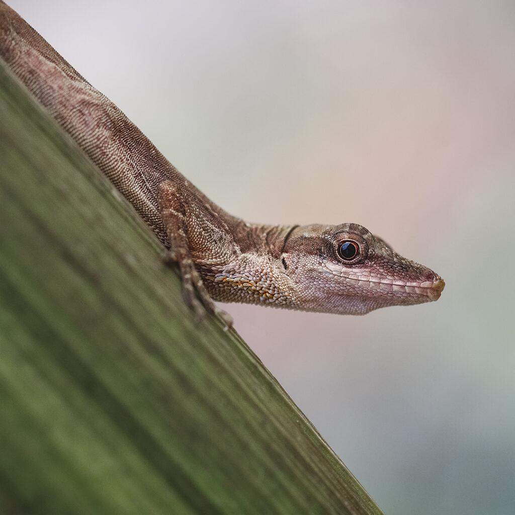 lagartija endemica de colombia