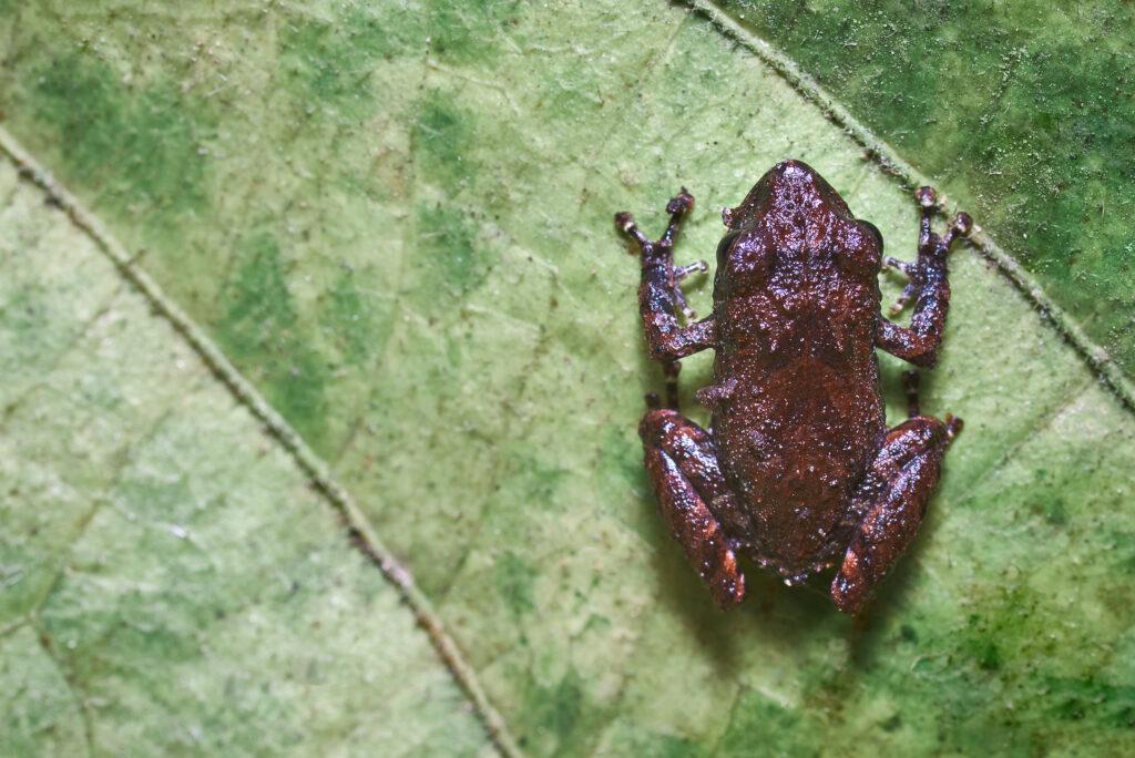 Pristimantis parectatus endemica