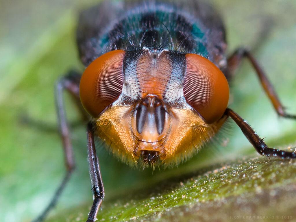 ojos de una mosca azul