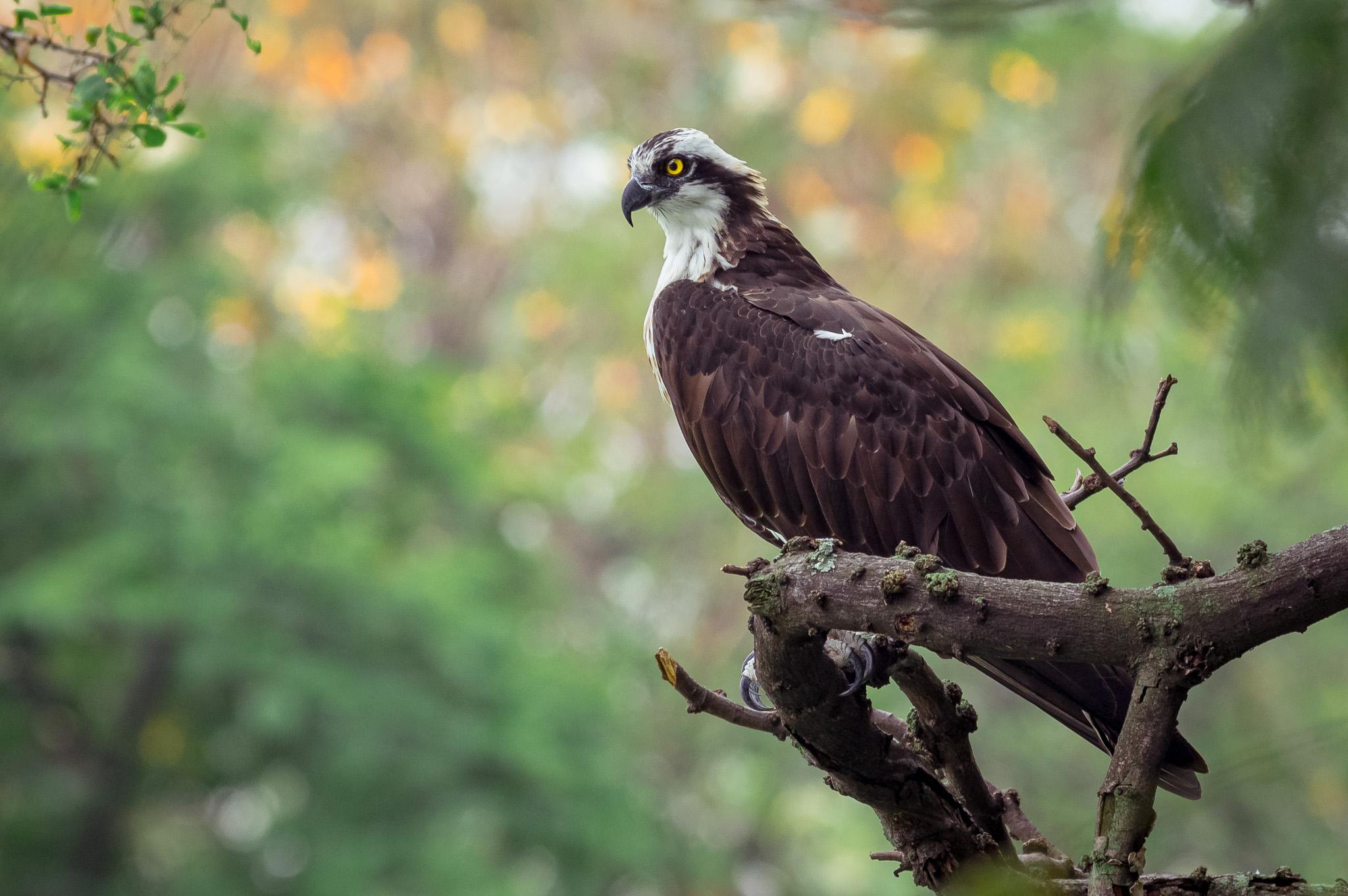 osprey after