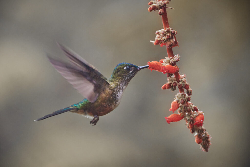 Violet-tailed Sylph after