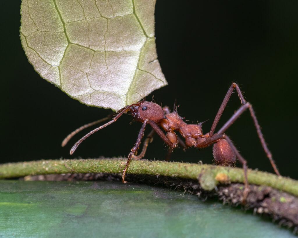 Hormiga cargando una hoja