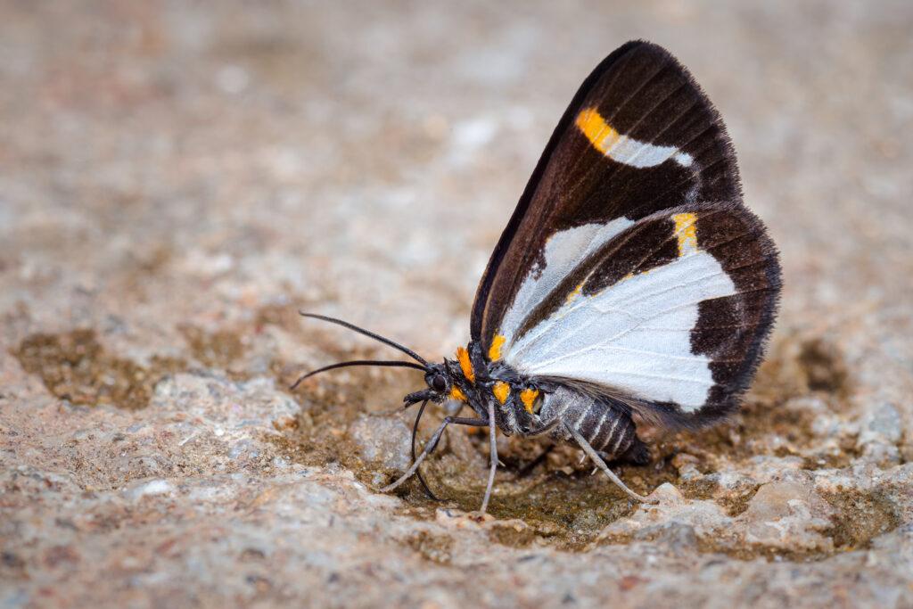 Mariposa alimentándose de la sal del suelo