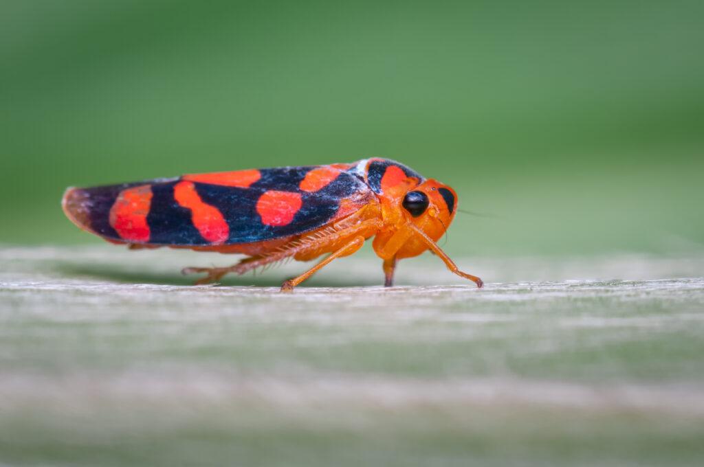 Insecto de cicalidae